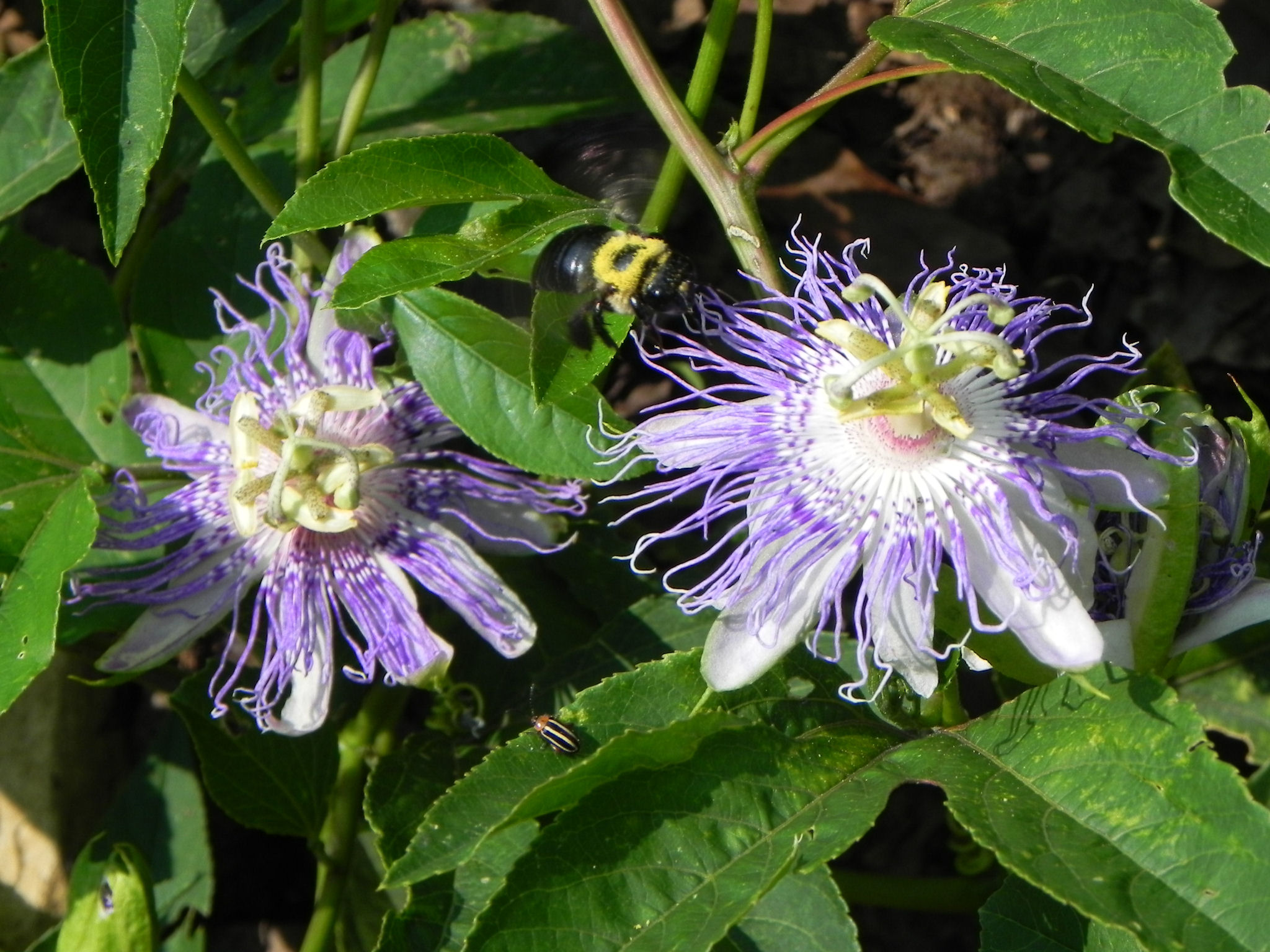 Purple Flowers of Passion Flower