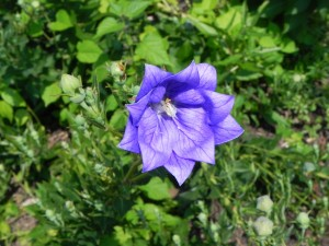 Purple Flower of Balloon Flower