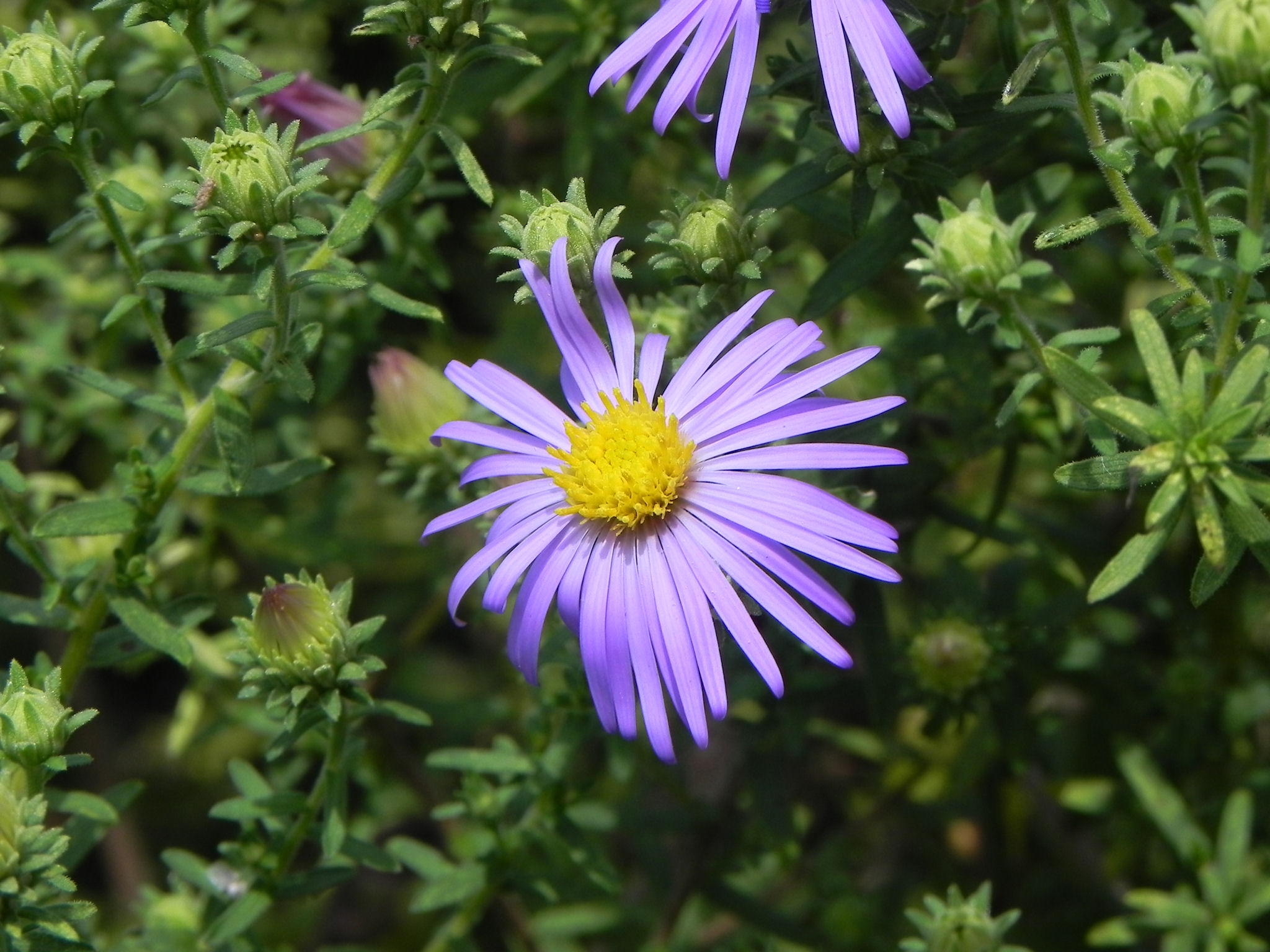 purple flower of aster  nature photo gallery, Beautiful flower