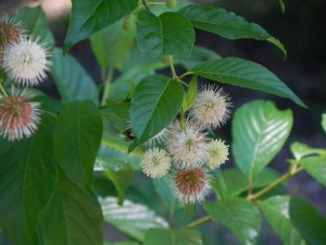 Flowers and Leaves of Buttonbush