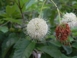 Flowers of Cephalanthus Occidentalis