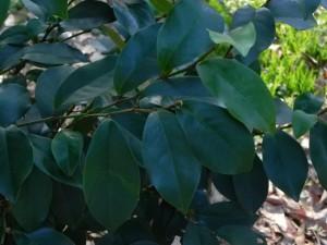 Foliages of Everblooming Banana Shrub