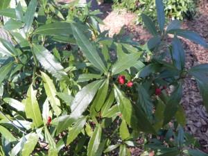 Lance Leaf Japanese Aucuba