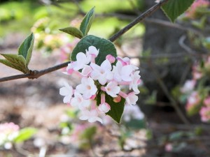 Pale Pink Flowers of Bitchiu Viburnum