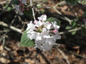 Cluster Flowers of Bitchiu Viburnum