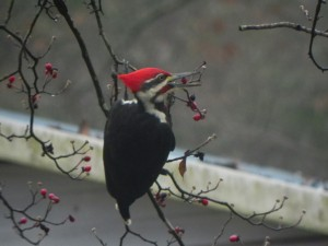 Pileated Woodpecker Picks Up a Berry