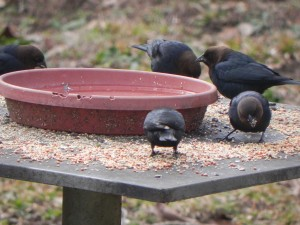 Male Brown Headed Cowbirds