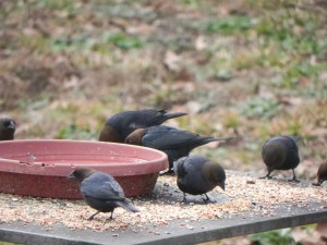 Noisy Brown Headed Cowbirds