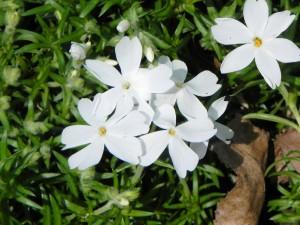 """White Flowers of Phlox Subulata """"White Delight"""""""