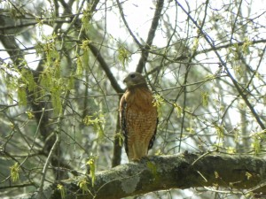 Red Shouldered Hawk Searching Prey