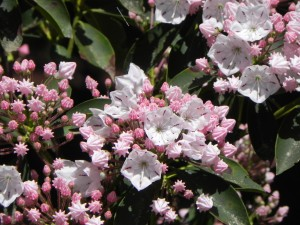 Mountain Laurel : Flowers & Buds