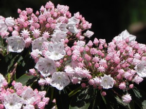 Flowers and Buds of Mountain Laurel