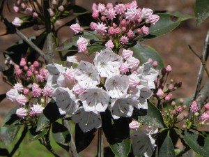 Pale Pink Flowers of Mountain Laurel