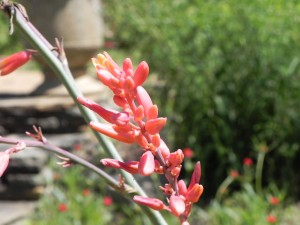 Red Yucca Flowers