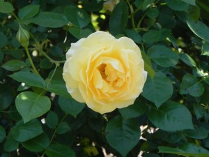 "Buttery Yellow Rose Flower ""Julia Child"""