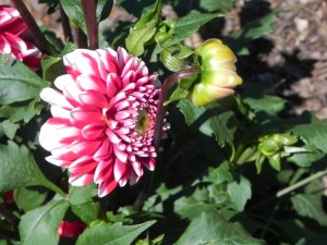 Flower & Bud of Dahlia
