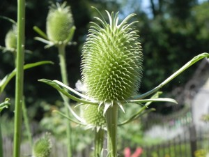 Ready to Start Flowering - Fuller's Teasel