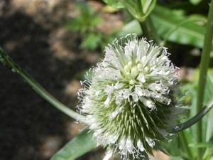 Flowers of Fuller's Teasel