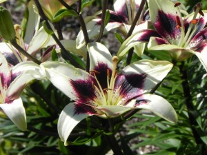 Flowers of Asiatic Lily - Patricia's Pride