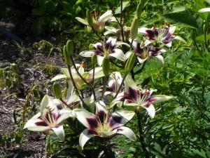 Flowers of Lilium Asiaticum