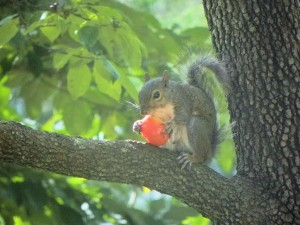 A Squirrel Eating a Tomato