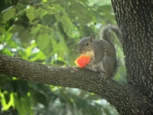 A Squirrel Eating  a Tomato 2