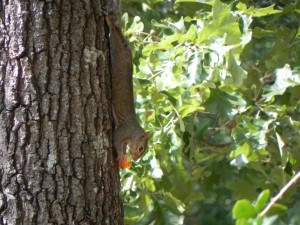 A Squirrel Eating  a Tomato 3