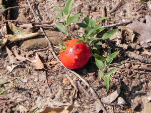 Discarded Tomato