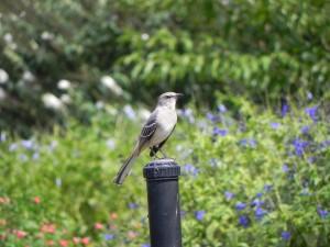 Handsome Mockingbird