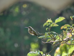 Female Ruby-Throated Hummingbird on a Branch