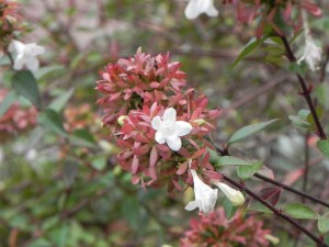 White Flowers and Pinkish Brown Sepals of Glossy Abelia