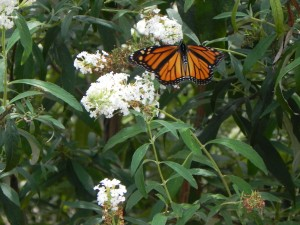 Monarch and Butterfly Bush