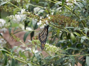 Monarch and White Flowers of Butterfly Bush