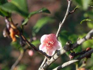 Pink Flower of Tea Camellia