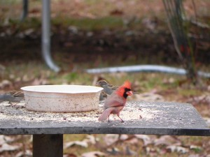 Male Cardinal on the Table of Feeder
