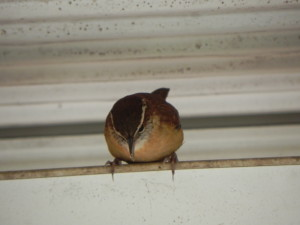 Carolina Wren watching downward
