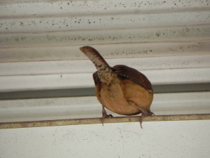 Behind of Carolina Wren