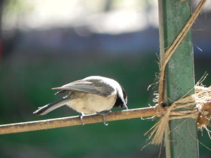 Carolina Chickadee- I'm Waiting