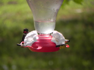 Male Ruby-Throated Humming Bird