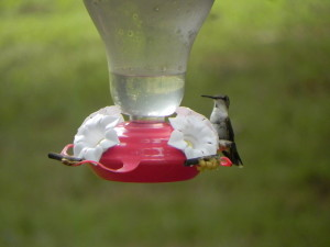 Female Ruby-Throated Humming Bird