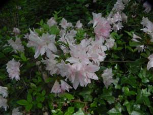 Pale Pink Azalea
