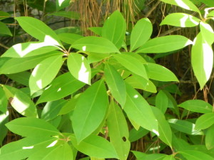 Foliage of Florida Anise