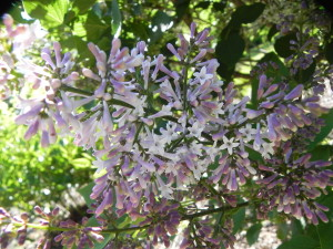 Cluster Flowers of Manchurian Lilac