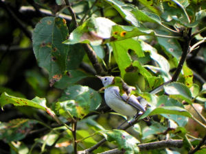 Blue Gray Grantcatcher