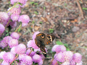 Gomphrena globosa and Common Buckeye