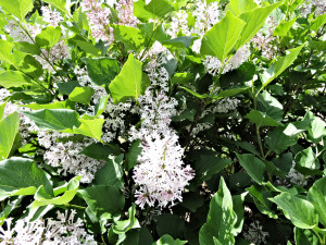 Flower of Manchurian Lilac