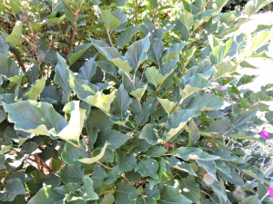 Foliage of Manchurian Lilac