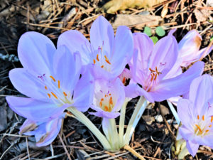 Flowers of Colchicum Byzantinum