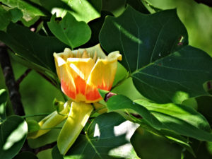 Flower of Tulip Tree