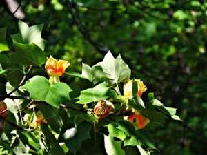 Flowers of Tulip Tree